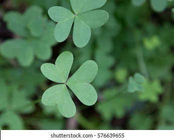 Close up of a Canarian cloverleaf, three heart shaped leaves