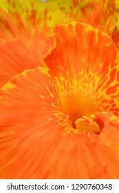 Close up of Canna lily - Latin name - Canna x generalis