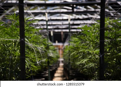 Close up of Cannabis Cultivation
