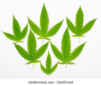 Close up - cannabis leaf isolated on white background.
