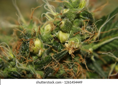Close up of cannabis seed pods, orange and white pistils, calyx/bract, stigmas, and shiny trichomes.  Female clone plants stressed/turned hermie and made seeds. Harvest of  marijuana plant clones.