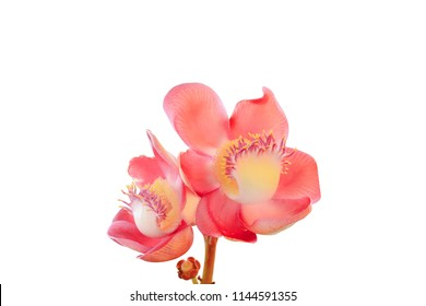 Close up Cannonball flower (Couroupita guianensis) isolated on white background. Cannonball flower