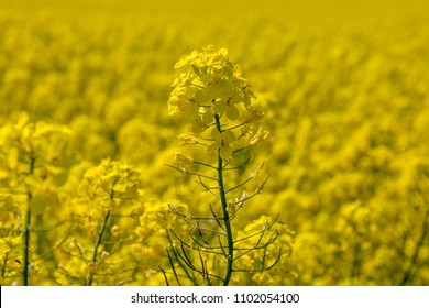 A close up of a canola/rapeseed flower, with a vivid yellow field behind