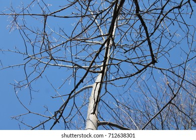 Close up of the canopy of the tree in the March month of spring. There is a beautiful shade of light blue in the sky with a nice light gray texture in the branches. Lovers Creek Barrie Ontario Canada