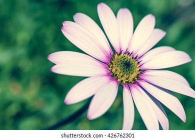 Close up of a cape daisy flower with a colour filters applied during processing