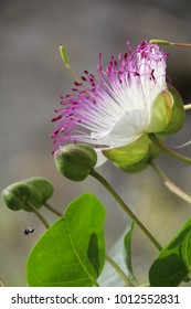 A close up of a Caper flower - Capparis spinosa and buds