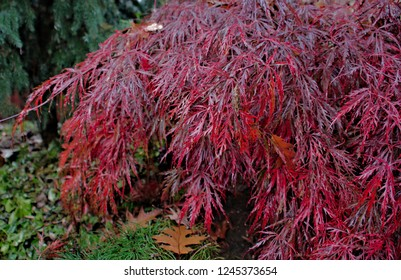 Close up capture of a deep dark burgundy red fall foliage of an ornamental Japanese cutleaf maple tree, showing only a section of the plant with a clear detailed outline of leaf shape and color range.