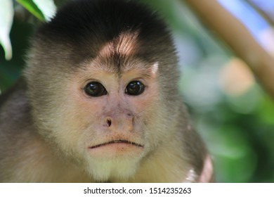Close up of a capuchin monkey, cebus albifrons, shwoing the head