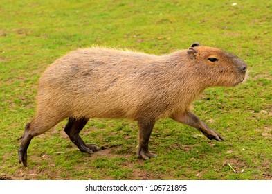 Close up of a Capybara (Hydrochoerus hydrochaeris)