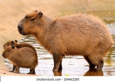 Close up of a Capybara (Hydrochoerus hydrochaeris) and two babies in a lake.