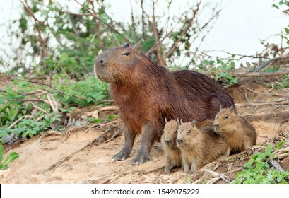 Close up of Capybara mother with three pups sitting on a river bank, North Pantanal, Brazil.