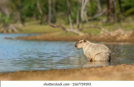 Close up of a Capybara sitting in water, South Pantanal, Brazil.