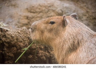 Close up to a capybara while it's eating cowpea