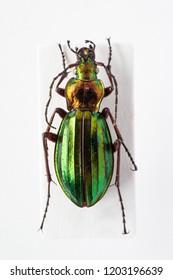 Close up Carabus beetle