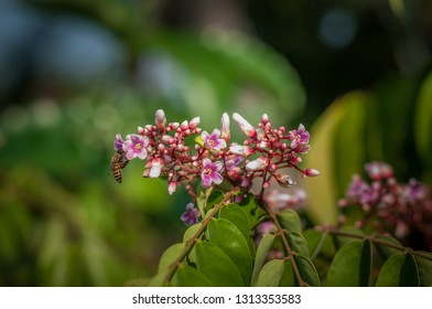Close up Carambola flower with bee blur background, Averrhoa carambola L
