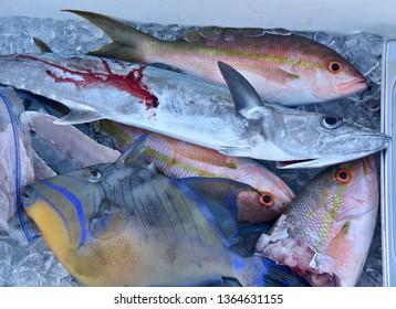 Close Up of Caribbean Fish Triggerfish Yellowtail Snapper and Mackerel