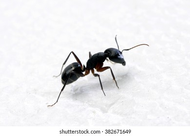 Close up of a carpenter ant