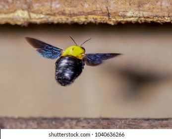 Close up Carpenter bee flying to  a nest on the pallet wood
