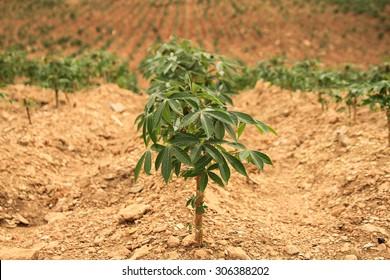 Close up cassava plant