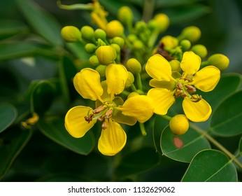 Nahaufnahme von Cassod Baum oder Senna siamea Blume auf Baum.