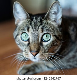 Close up of cat face with green eyes, long whiskers and perked up ears. This tabby cat is a rescue animal.