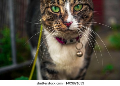 A close up of a cat outdoors in the front porch in the middle of the afternoon with a gaze of absentmindedness on its face  with a chain around its neck