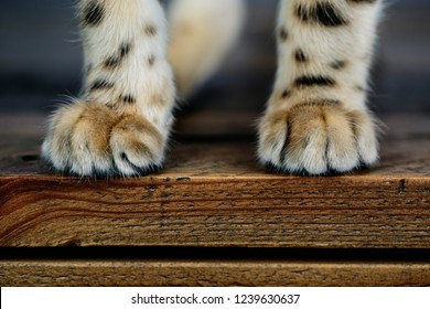 Close Up of Cat Paws while sitting on Table