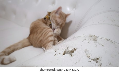 close up at cat scratched damaged white sofa. blurred a young orange cat wearing fabric collar lying on white sofa.