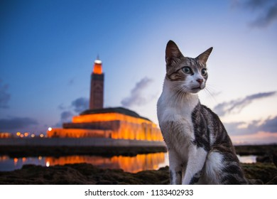 close up of a cat sitting on rocks behind him the famous Hassan II mosque - Casablanca - Morocco