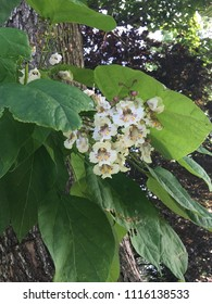 Close catalpa tree big green leaves stock photo edit now close up catalpa tree with big green leaves and white cluster of flowers found in mightylinksfo