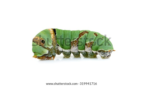 Close up caterpillar isolated on the white background.