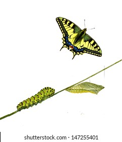Close up of caterpillar , pupae, and swallowtail butterfly