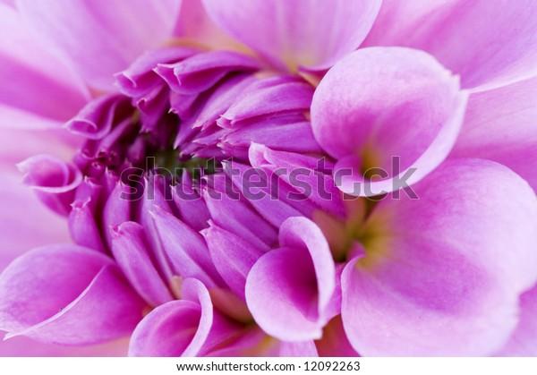 The close up center of dahlia flower