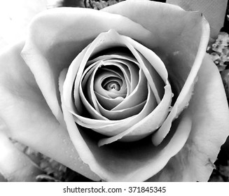 close up to center of rose in black and white effect