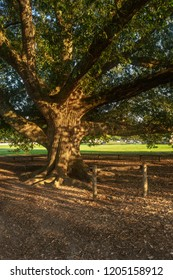 Close Up of Centuries Old Live Oak Tree from Great Dismal Swamp Williamsburg Virginia USA