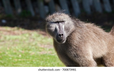 Close up of chacma baboon in the Cape Point nature reserve, South Africa
