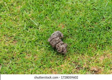 close up of Chacma baboon (Papio ursinus) faeces, excrement, animal droppings, poop lying on grass outdoors in South Africa