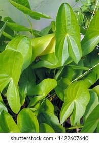 Close up of the characteristic arrow-shaped leaves of Sagittaria platyphylla, the delta arrowhead, broad-leaf arrowhead or delta duck-potato. Poland, Europe