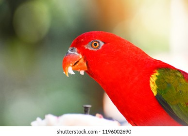 Close up Chattering Lory / Colorful chattering Lory parrot standing on branch tree nuture green background - beautiful red parrot bird (Lorius garrulus)