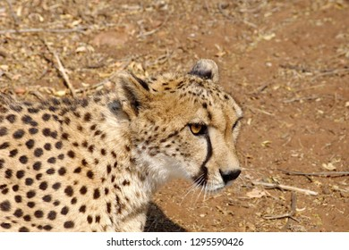 Close up of a cheetah at a cheetah breeding facility near Johannesburg, South Africa