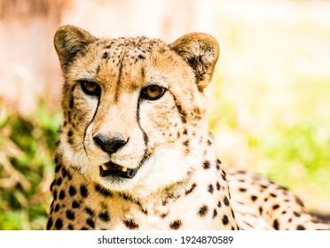 Close up cheetah  in Chiangmai Thailand