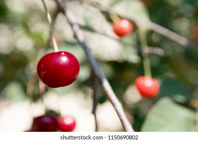 close up cherries on tree at sunny day