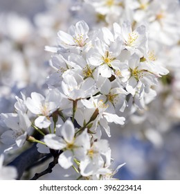 Close up of Cherry Blossom branch in full bloom with white flowers