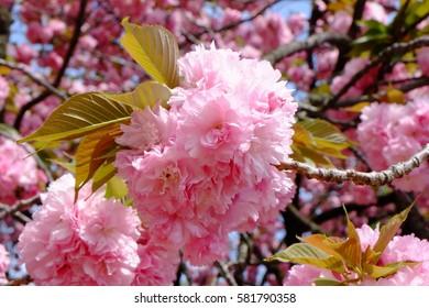 Close up of cherry blossoms (Prunus lannesiana Wils. cv. Sekiyama). Kanzan in Japanese.