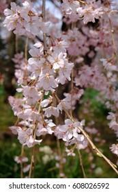Close up of cherry blossoms (Weeping cherry, Prunus pendula or Shidarezakura in Japanese)