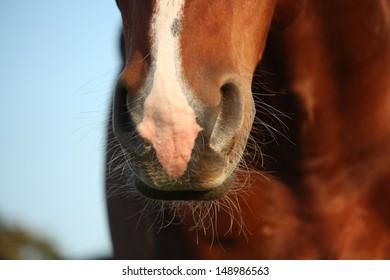Close up of chestnut horse nose