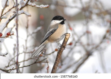 close up of a chickadee bird perched on a branch with snow in wintertime.
