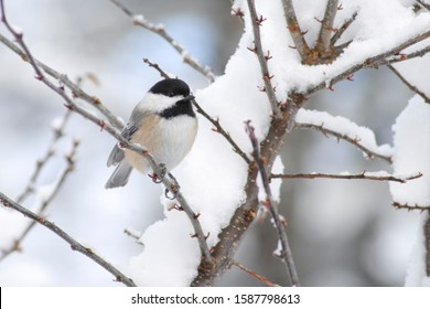 close up of chickadee bird perched on a snow covered branch during wintertime.