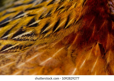 Close up chicken feathers background. Jungle Fowl chicken. Depth of field (DOF) effect.