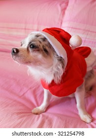 Close up of a chihuahua papillon with dress as a concept of Christmas holidays 3